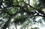 spanish moss covered trees, Savannah Georgia trees